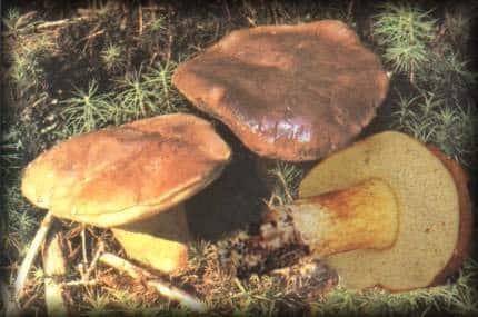 Champignon bolet bai reconna tre les champignons gr ce - Calendrier des champignons comestibles ...